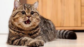 Смешные коты 2017 ТОПовая Подборка. Лучшие Приколы с котами. Funny Cats Compilation 2017