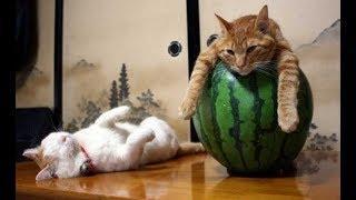 ПОПРОБУЙ НЕ ЗАСМЕЯТЬСЯ - Смешные Приколы с Животными до слез, смешные коты