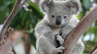 Семейство коал. Документальный фильм.