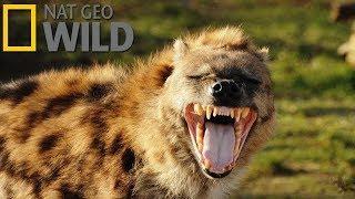 Гиена — царица хищников (Документальные фильмы Nat Geo Wild HD)