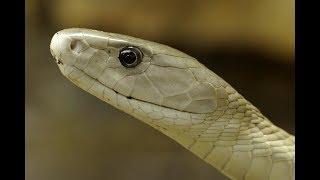 """Змеи в городе """"укус мамбы"""""""