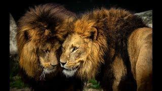Дикая Ботсвана - братство львов!