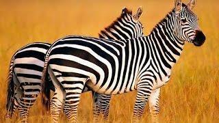 Дикая Калахари (Документальные фильмы National Geographic HD)