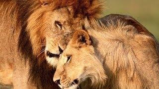 Супер фильм! Ночь Льва! Документальные фильмы про животных