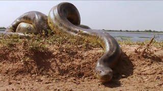 Гигантские змеи: Удавы (Документальный фильм)