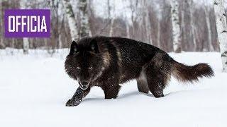 Восхождение чёрного волка (Документальные фильмы National Geographic HD) борьба животных