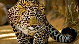 Суперский документальный фильм про ЛЕОПАРДОВ! Документальные фильмы, фильмы о животных