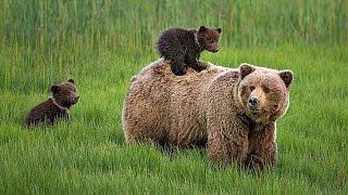 Бурые медведи. Документальный фильм
