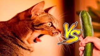 Коты vs Огурцов - Приколы с котами