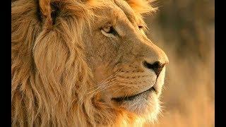 Царь зверей.  Документальный фильм  о жизни львов National Geographic Channel TV