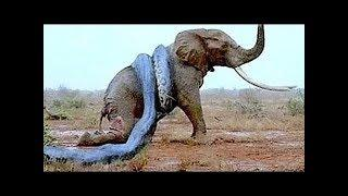 Самая большая змея планеты -  Анаконда