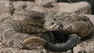 Супер змея Америки. Документальный фильм Nat Geo Wild.