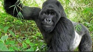 Интересный  ФИЛЬМ! Жизнь с гориллами! Документальные фильмы, фильмы про животных,