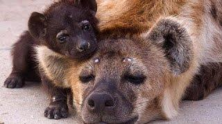 Вся правда о гиенах! Фильмы про животных, новые документальные фильмы