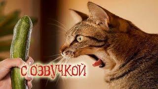 Приколы с котами – МОЙ КОТ ОБОЖАЕТ ОГУРЦЫ! Самое смешное видео! ТЕСТ НА ПСИХИКУ – PSO