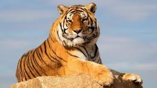 Исчезнновение тигров! Документальные фильмы, фильмы о животных